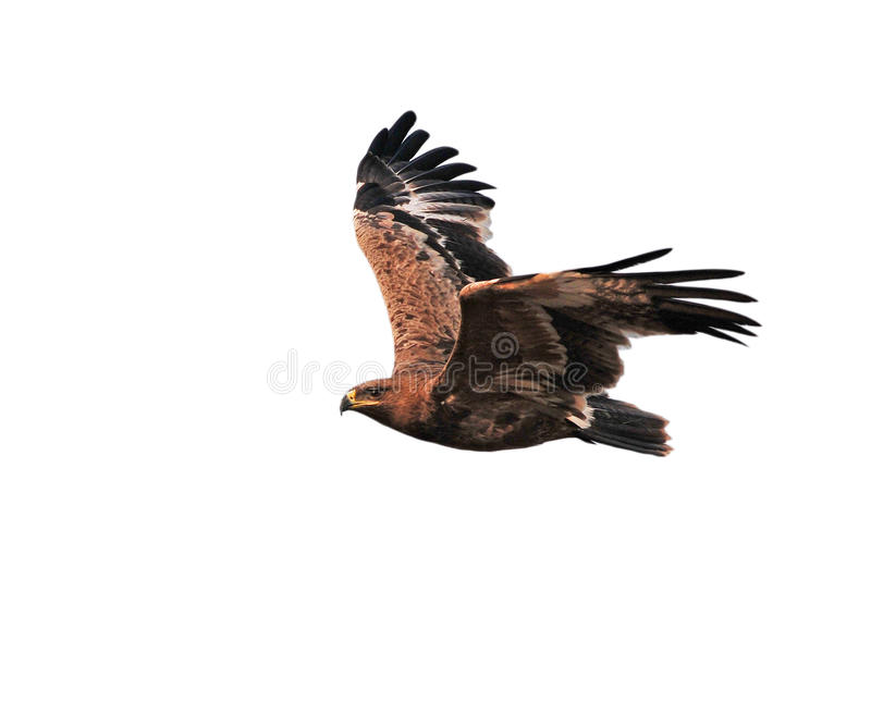 Steppe Eagle. Showing wing spread royalty free stock images