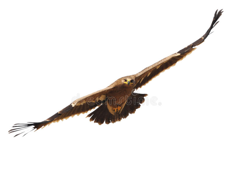 Steppe Eagle. Showing wing spread.on white background royalty free stock photo