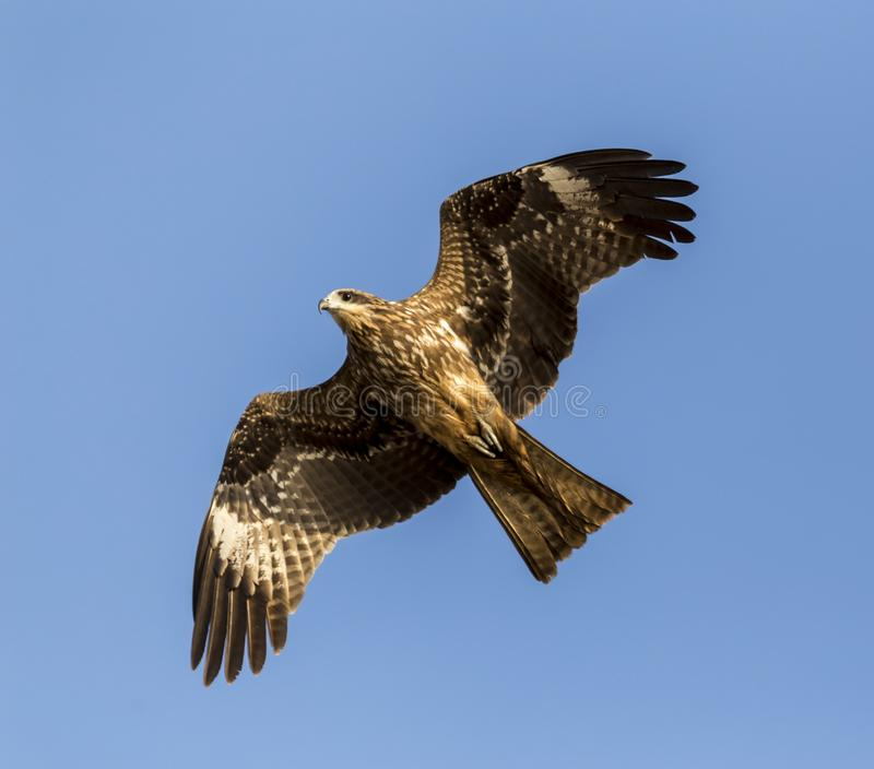 The steppe eagle. Aquila nipalensis - in flight over a beach in Goa, India stock photography
