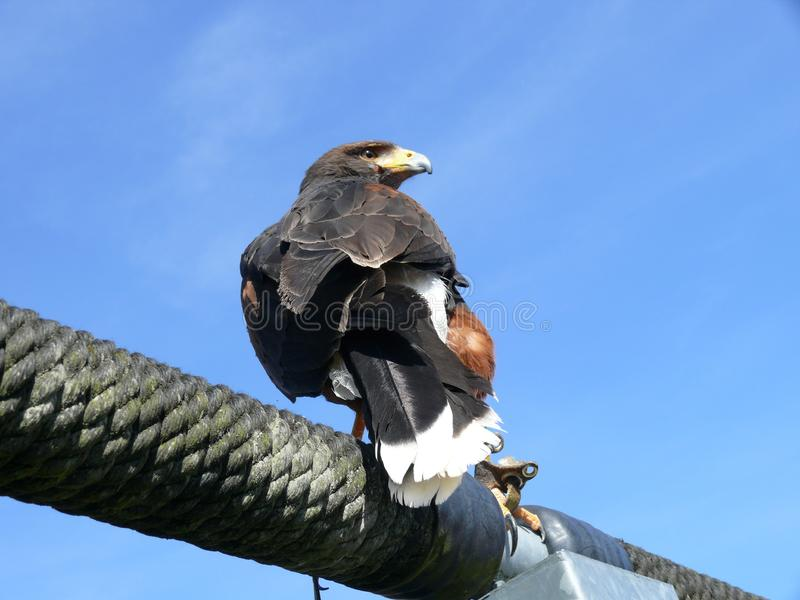 Steppe eagle. Sitting on a bar stock photography