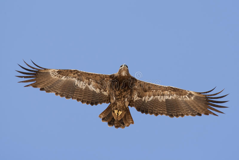 steppe för rapax för rov för nipalensis för aquila bäst fågelörn royaltyfri foto