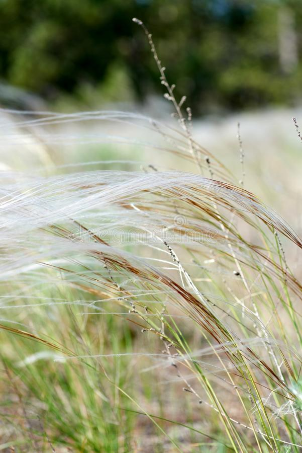 Steppe feather grass, selective focus, close up. Day stock photos