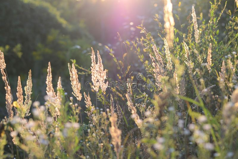 Steppe feather grass at sunset. Spikes of field grass in the evening sun. Shiny grass stems. Blurred background. Soft focus stock image