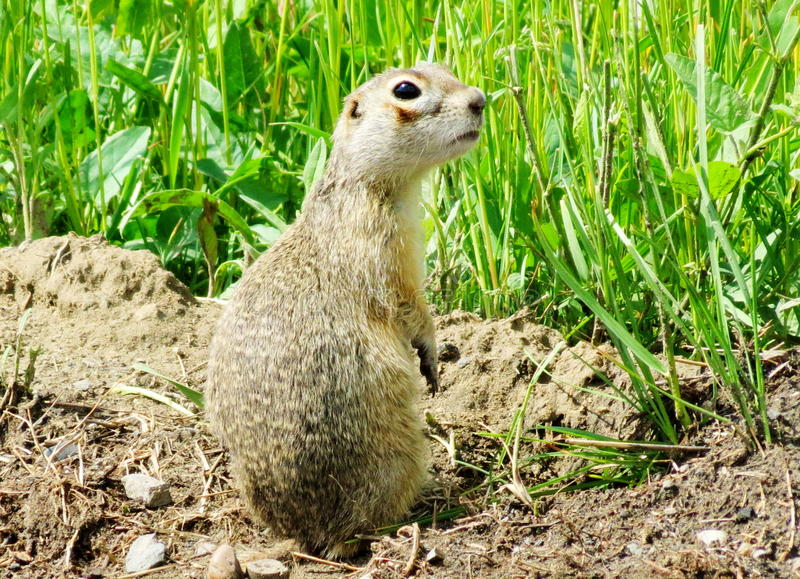 Steppe gophers. In the spring steppe gophers leave the holes stock photography