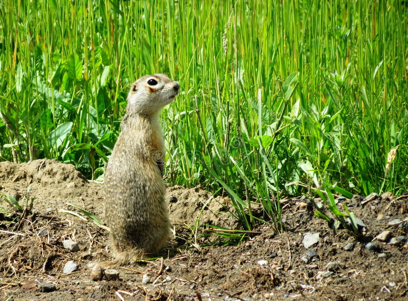 Steppe gophers. In the spring steppe gophers leave the holes royalty free stock photo