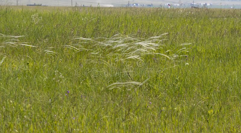 Steppe grass forms a filigree pattern at the slightest breath of wind.  stock images