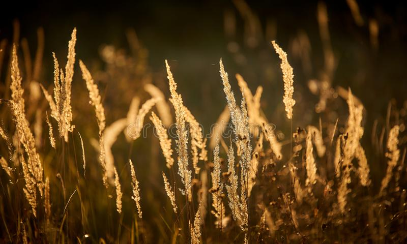 Steppe Grass i solupplyst ljus fotografering för bildbyråer