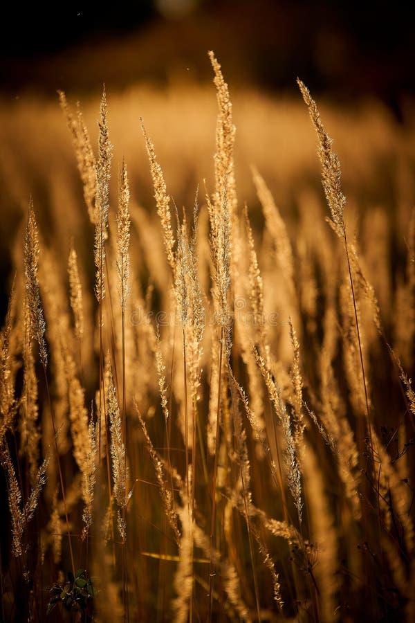 Steppe Grass i solupplyst ljus arkivbild