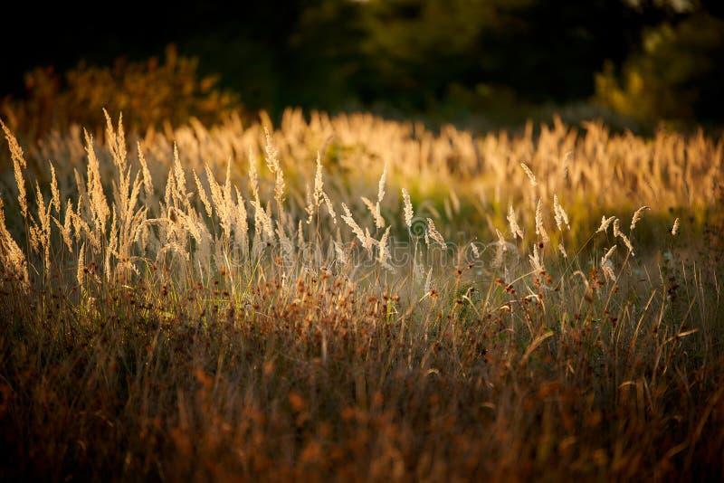 Steppe Grass i solupplyst ljus arkivbilder