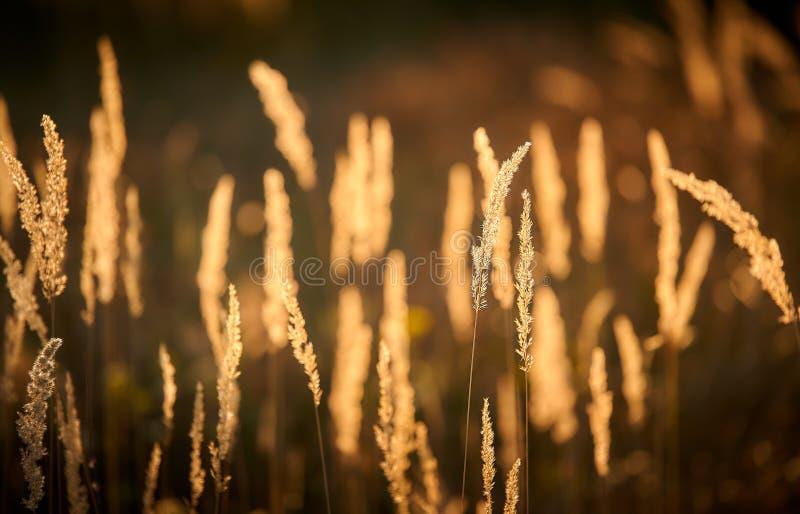 Steppe Grass i solupplyst ljus royaltyfri fotografi