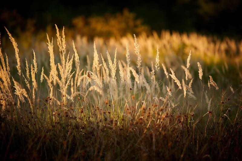 Steppe Grass i solupplyst ljus royaltyfria bilder