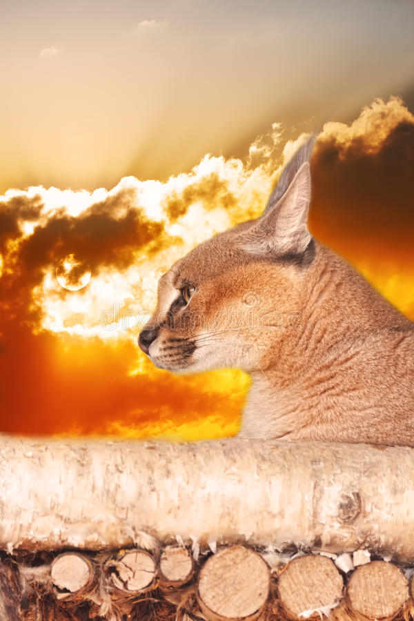 Download Steppe lynx stock image. Image of animal, deserted, brushes - 27997317