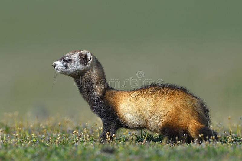 The steppe polecat or masked polecat in natural habitat Mustela royalty free stock photo