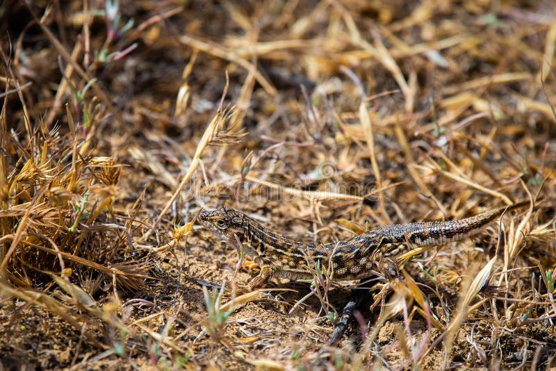 Steppe runner lizard or Eremias arguta close on dry ground. Reptile, dragon, sand, nature, wildlife, animal, beach, body, cold, semi, desert, detachment royalty free stock photography