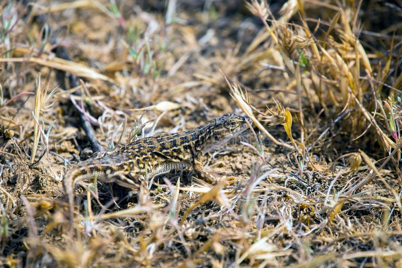 Steppe runner lizard or Eremias arguta close on dry ground. Reptile, dragon, sand, nature, wildlife, animal, beach, body, cold, semi, desert, detachment royalty free stock photos