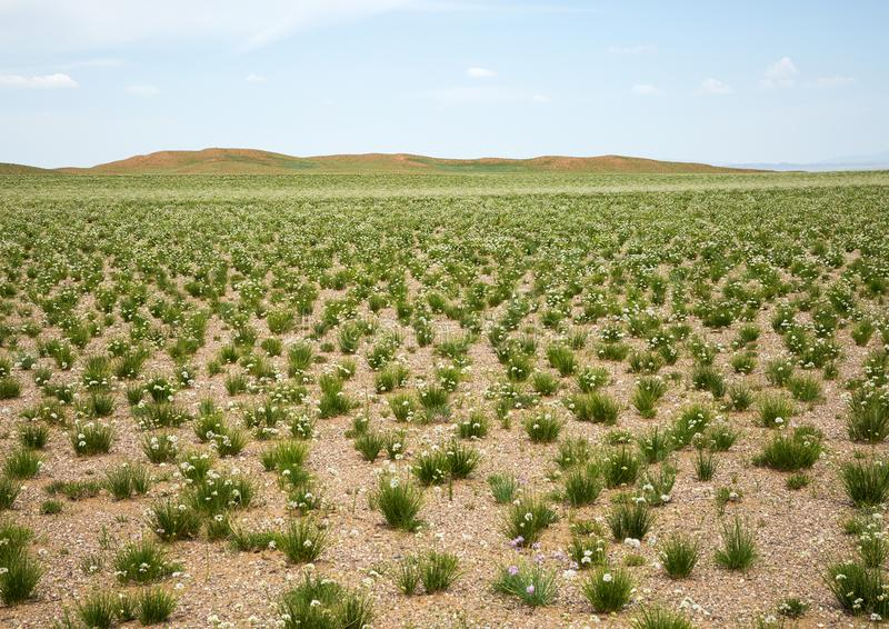 Steppe in spring in flowers. royalty free stock photos