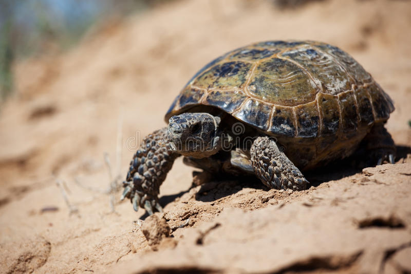 Steppe tortoise. (Testudo (Agrionemys) horsfieldii royalty free stock photos