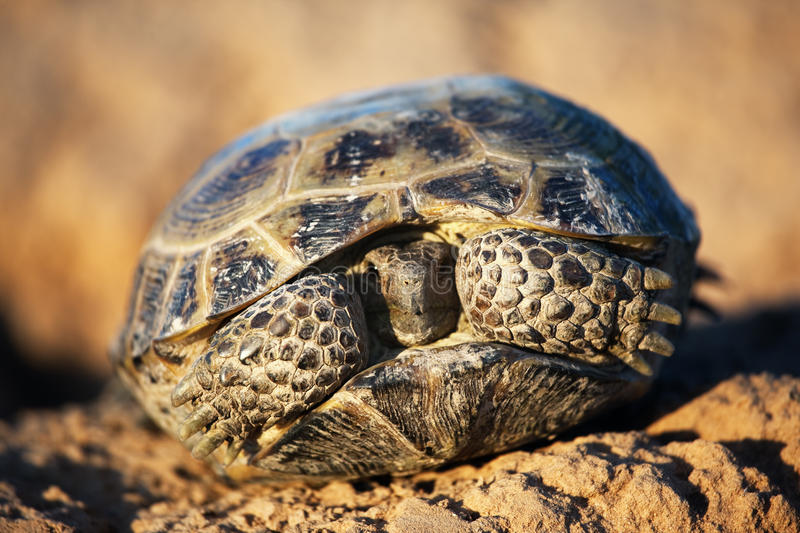 Steppe tortoise in shell. Steppe tortoise (Testudo (Agrionemys) horsfieldii stock photography