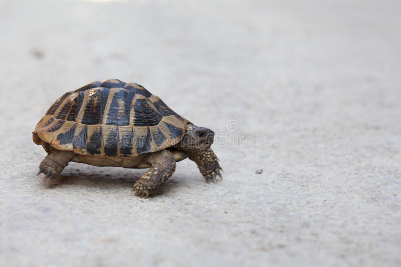 Steppe tortoise (Testudo (Agrionemys) horsfieldii) in its natural habitat. Crosses the road, space for text royalty free stock image