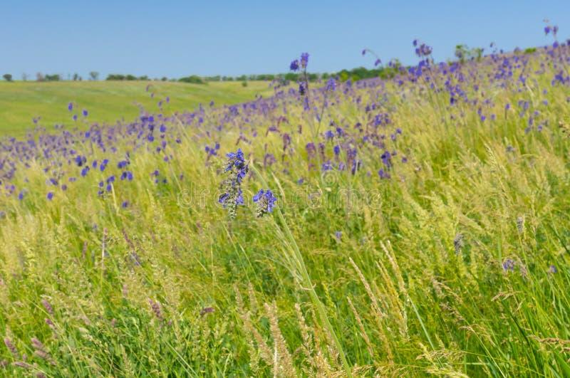 Steppe ukrainienne envahie avec les fleurs bleues au printemps en retard image stock