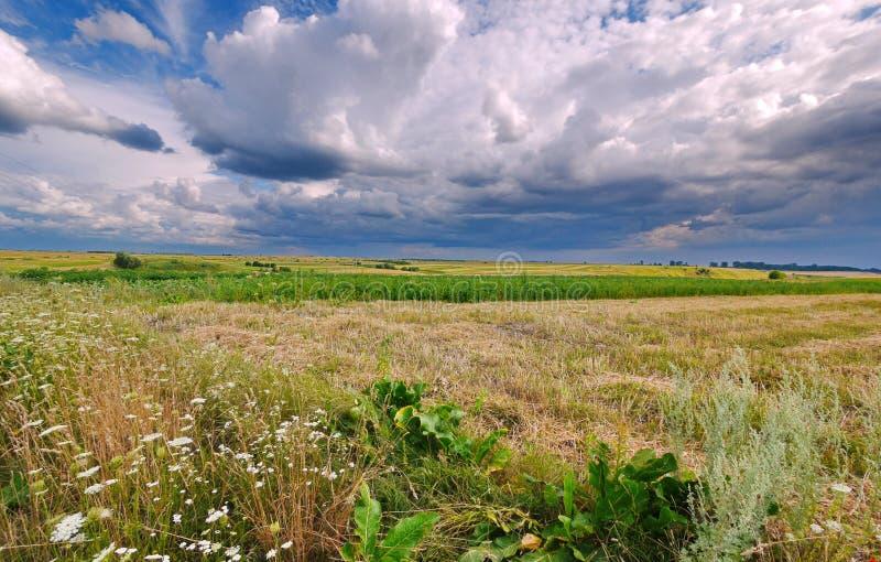 Steppe vert jaunâtre avec l'herbe sèche et fraîche, sur laquelle les marguerites fleurissent sous le ciel bleu photos stock