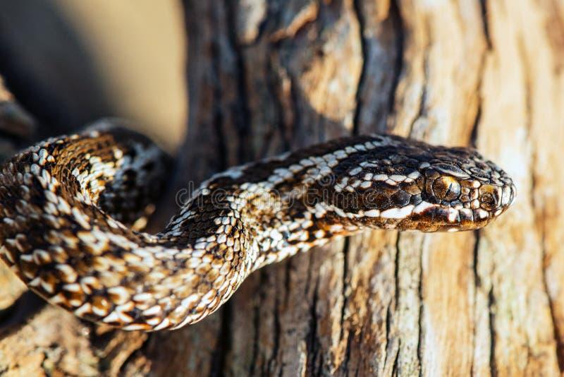 Steppe Viper, Vipera ursinii, poisonous snake. close up stock image