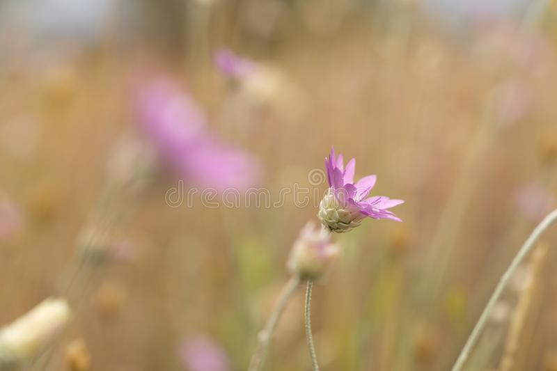 Steppe wildflowers. Selective focus. Early morning. Flowers. Steppe wildflowers. Selective focus Early morning, close, closeup, bright, natural, summer, fresh stock images