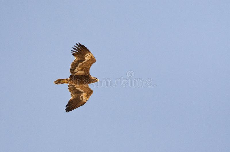 Steppearend, Steppe eagle, Aquila nipalensis. Steppearend op doortrek; Steppe eagle on migration in Eilat mountains stock photos