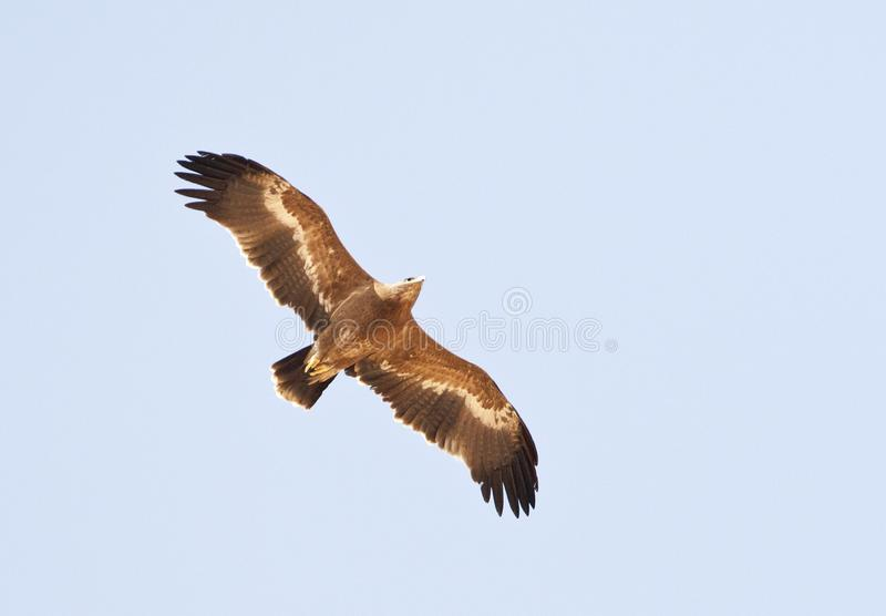 Steppearend, Steppe eagle, Aquila nipalensis. Steppearend op doortrek; Steppe eagle on migration in Eilat mountains stock images