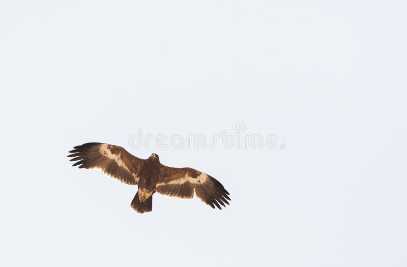 Steppearend, Steppe Eagle, Aquila nipalensis. Steppe Eagle (Aquila nipalensis) during spring migration over Eilat Mountains, Israel royalty free stock photography