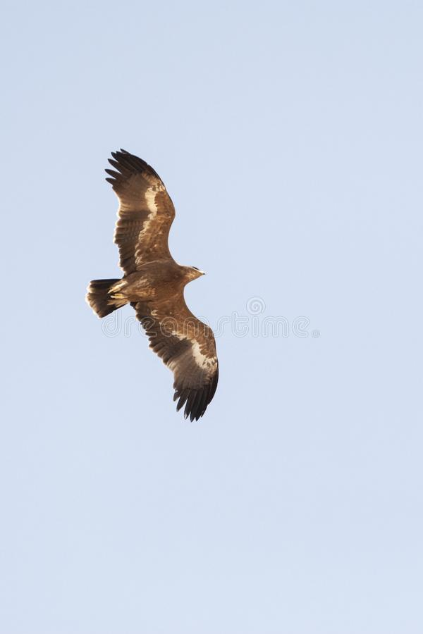 Steppearend, Steppe Eagle, Aquila nipalensis. Steppe Eagle (Aquila nipalensis) during spring migration over Eilat Mountains, Israel royalty free stock photo