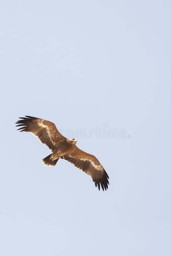 Steppearend, Steppe Eagle, Aquila nipalensis. Steppe Eagle (Aquila nipalensis) during spring migration over Eilat Mountains, Israel stock photo
