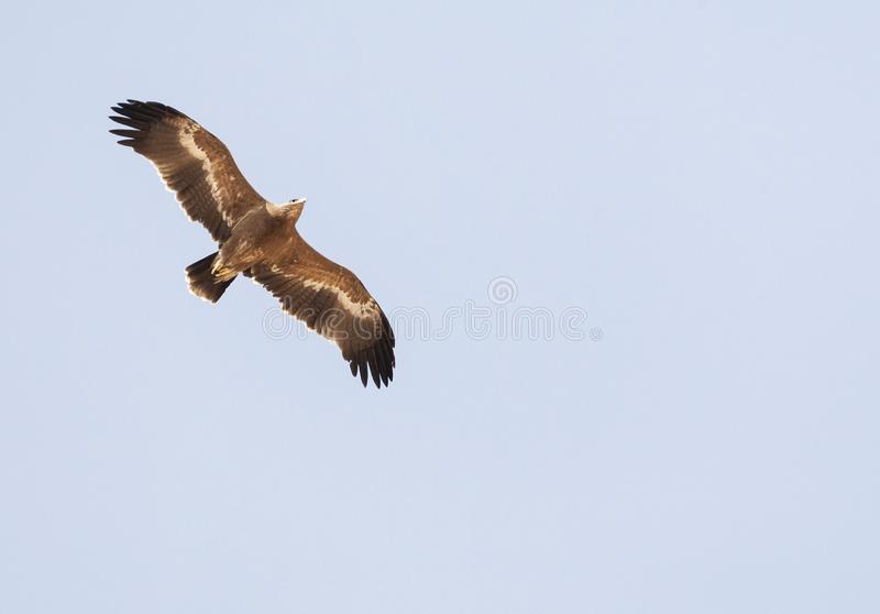Steppearend, Steppe Eagle, Aquila nipalensis. Steppe Eagle (Aquila nipalensis) during spring migration over Eilat Mountains, Israel stock photos