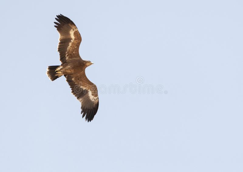 Steppearend, Steppe Eagle, Aquila nipalensis. Steppe Eagle (Aquila nipalensis) during spring migration over Eilat Mountains, Israel royalty free stock image