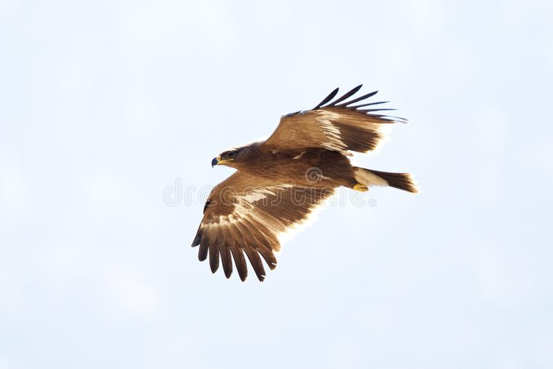 Steppearend, Steppe Eagle, Aquile nipalensis royalty free stock photo