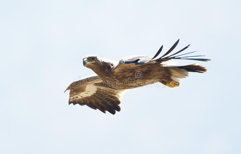 Steppearend, Steppe Eagle, Aquile nipalensis stock image