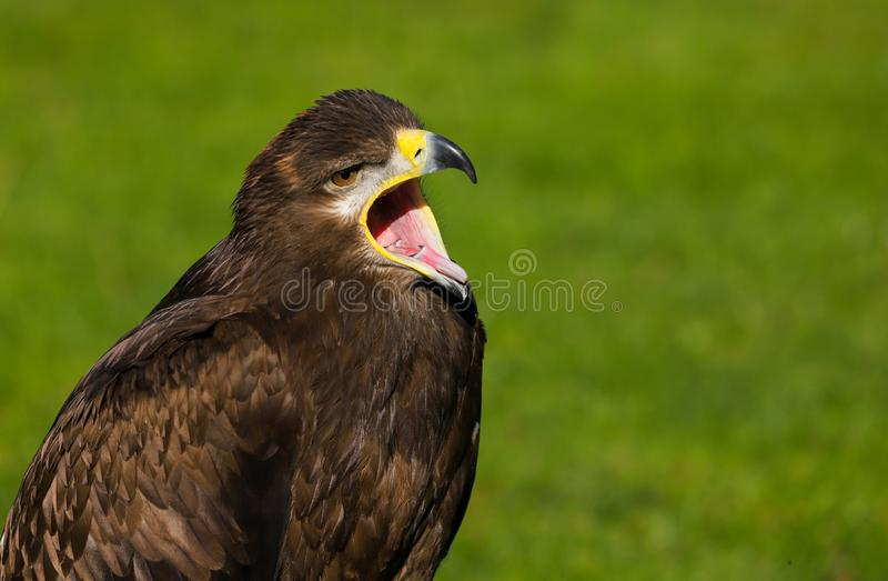 Steppenadleraquila-nipalensis Raubvogel stockbilder