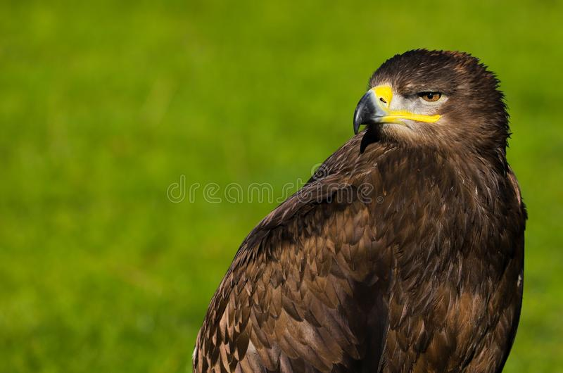 Steppenadleraquila-nipalensis Raubvogel lizenzfreies stockfoto