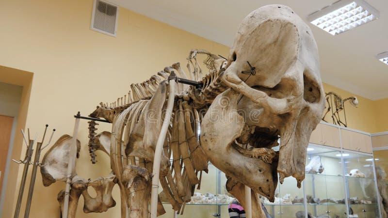 Steppenbison oder Bison priscus Skelett im Museum Skelett eines Büffels am Museum stockbild
