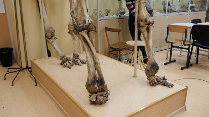 Steppenbison oder Bison priscus Skelett im Museum Skelett eines Büffels am Museum stockbilder