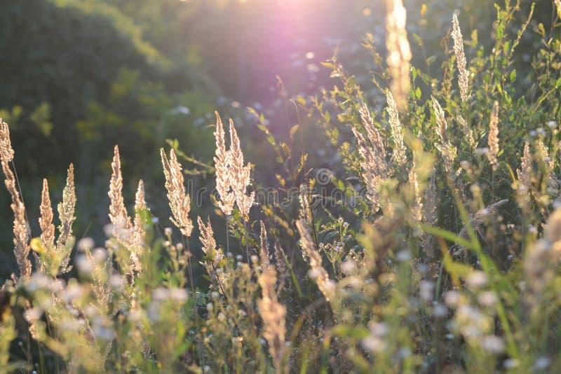 Steppepluimgras bij zonsondergang Aren van gebiedsgras in de avond zon Glanzende grasstammen Vage achtergrond Zachte nadruk stock afbeelding