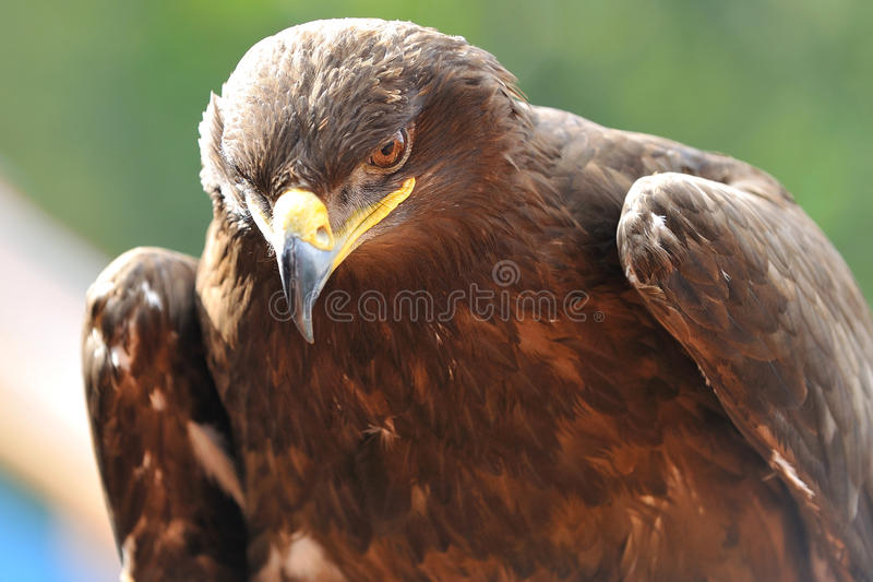 steppes eagles royalty free stock images