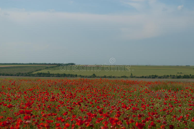 Steppes and fields of Ukraine. Poppy field near the road. Lots of bright red flowers royalty free stock photography