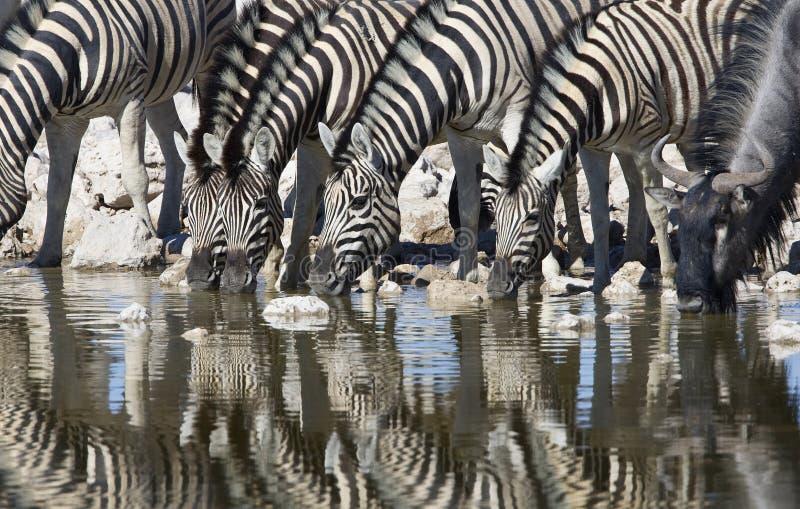 Steppezebra, plaines zèbre, quagga d'Equus photographie stock libre de droits