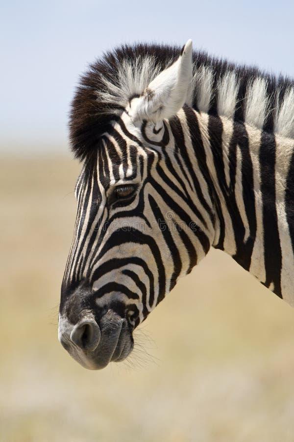 Steppezebra, plaines zèbre, quagga d'Equus photo stock