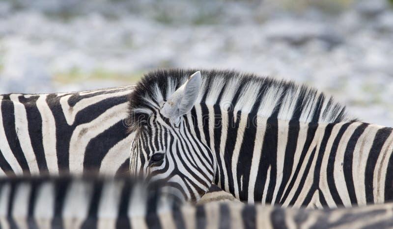 Steppezebra, plaines zèbre, quagga d'Equus photos stock