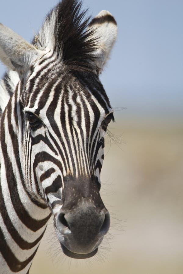Steppezebra, plaines zèbre, quagga d'Equus photos libres de droits