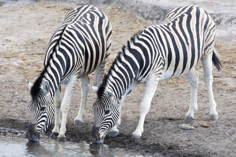 Steppezebra, plaines zèbre, quagga d'Equus image stock