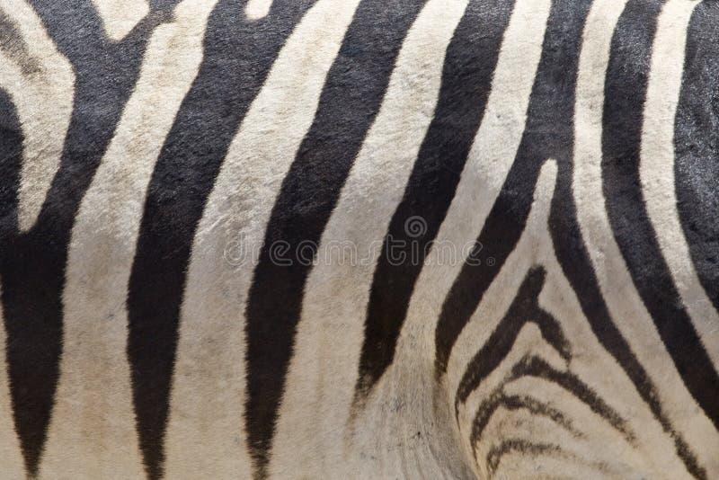 Steppezebra, plaines zèbre, quagga d'Equus image libre de droits