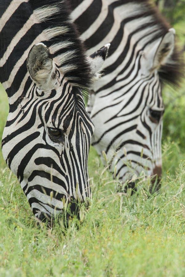 Steppezebra, plaines zèbre, quagga d'Equus images libres de droits
